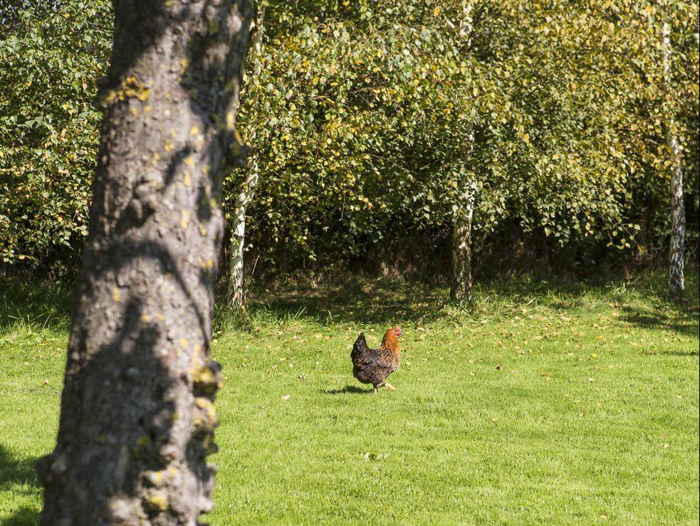 les propriétaires possèdent une poule qui se balade dans le jardin