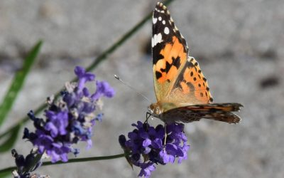 Des abeilles et papillons dans son jardin !