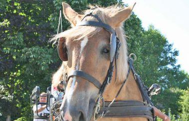 Promenades en Attelage ardennais-Promenades âne-cheval-attelage à Province du Luxembourg